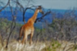 Giraffe Outlook_a.jpg