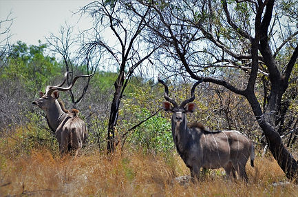 Tragelaphus strepsiceros Kudu.jpg