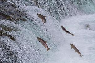 Sockeye Salmon Jumping Up Brooks Falls i