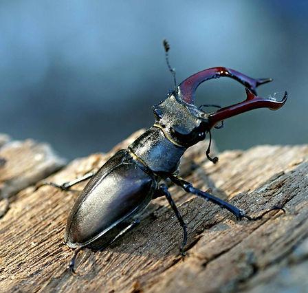 Stag beetle (Lucanus cervus).jpg
