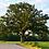 Thumbnail: Bur Oak