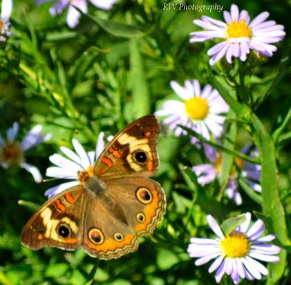 rwnmbuttertflyflower.jpg