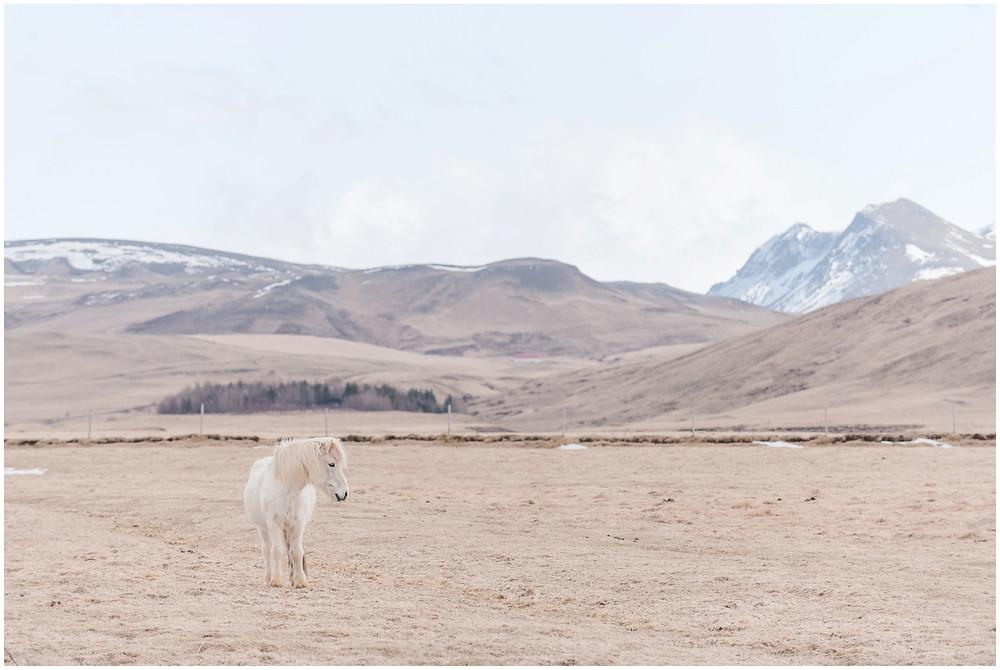 Icelandic horses iceland in winter iceland mountain iceland scenery