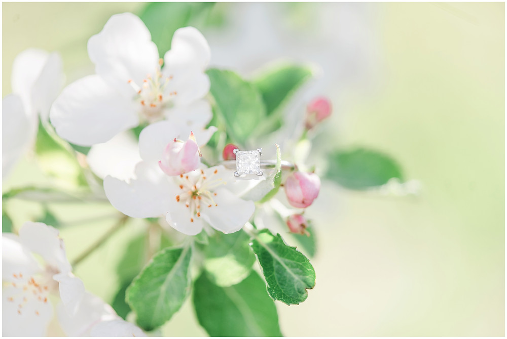 Flower tree engagement in corrales, new Mexico. Albuquerque wedding photographer Maura Jane Photography. princess cut tiffanys ring sitting in apple blooms
