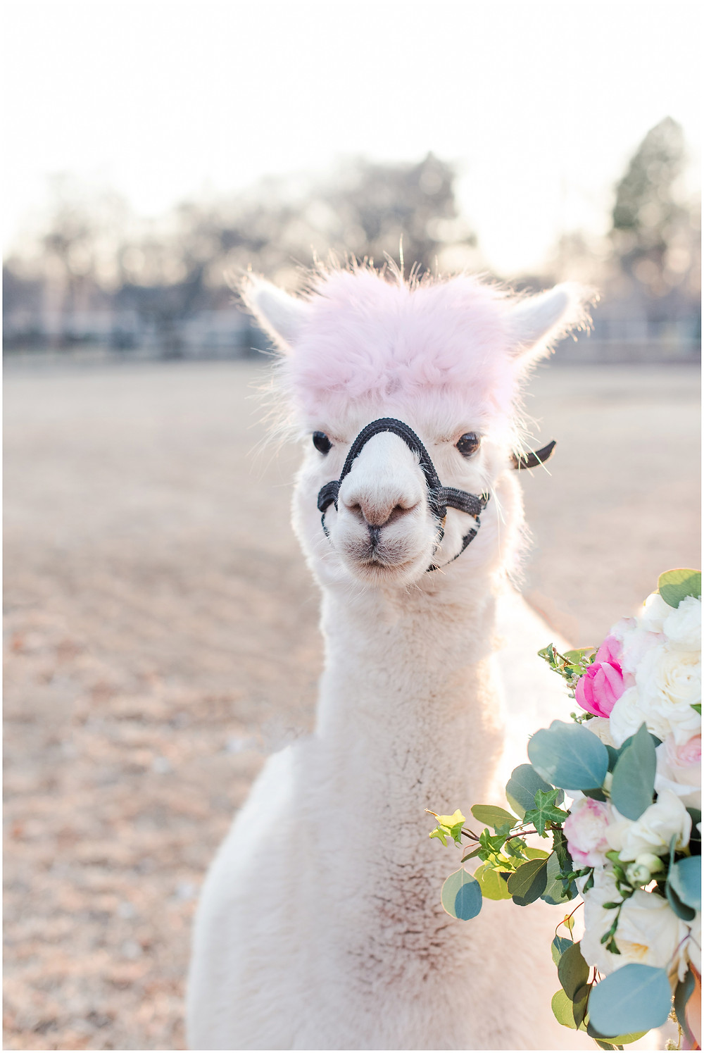 pink themed wedding. Messy bouquet. Bride in flower grown. Wedding alpaca. bride with alpaca.