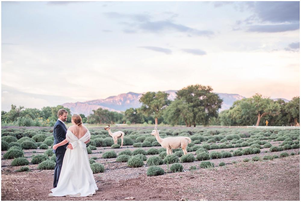 Alpacas at Weddings. Los Poblanos Wedding Venue. Albuquerque Wedding Photographer. New Mexico Wedding Photographer. Los Poblanos Lavender Farm. Llamas at Weddings. Mountain Wedding. Lavender Wedding. Albuquerque Wedding.