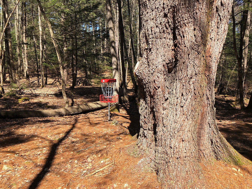 Beautiful giant old pine protects the basket from the right side of the fairway
