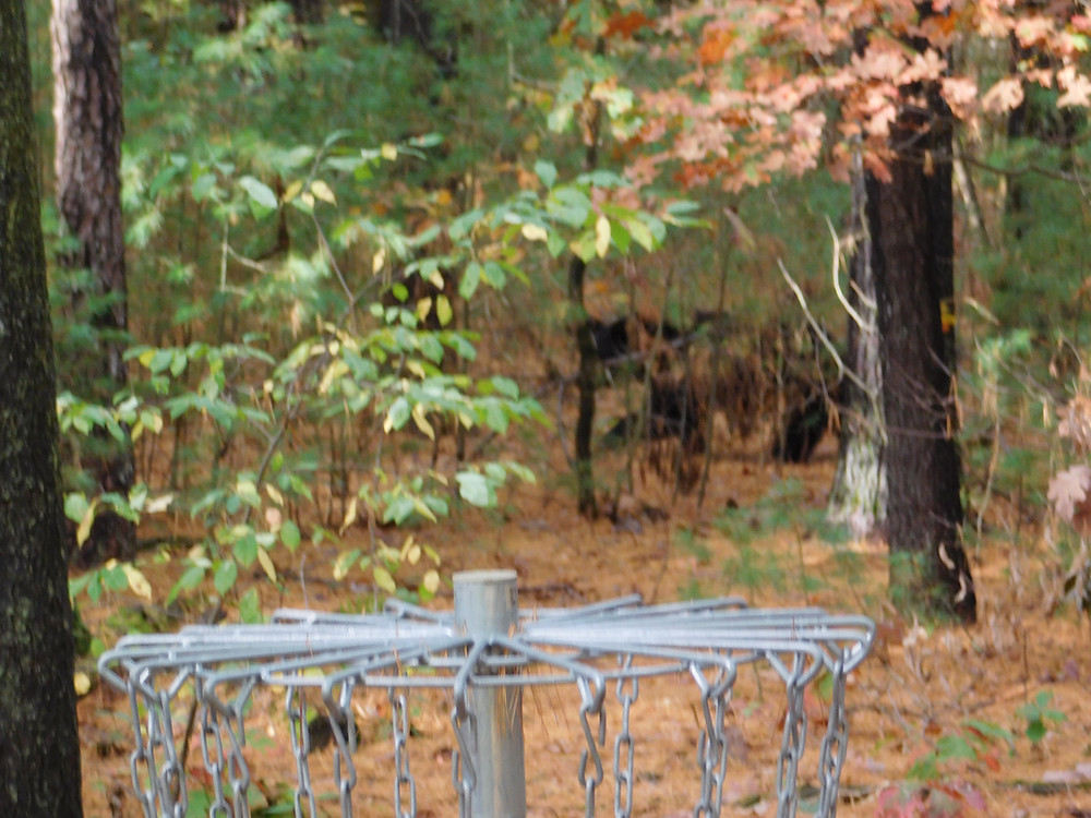 A bear walks past my backyard basket.