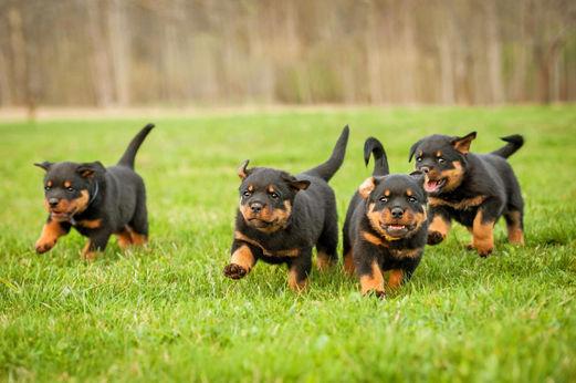 4-chiots-rottweiler.jpg