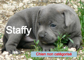 chiot staffy2_edited.jpg