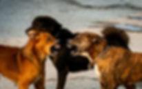 bagarre-entre-chiens-1-1080x675.jpeg