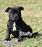 chiot staffy_edited.jpg