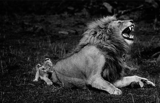 Un lionceau impertinent ©Yann Arthus-Bertrand