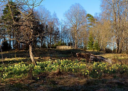 Påskliljorna vid Lammåsen