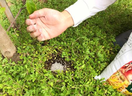 庭木に肥料を