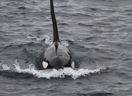 August: On the  Killer Whale Trail