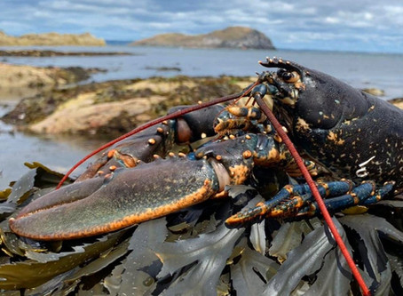 August: Firth of Forth Lobster Hatchery