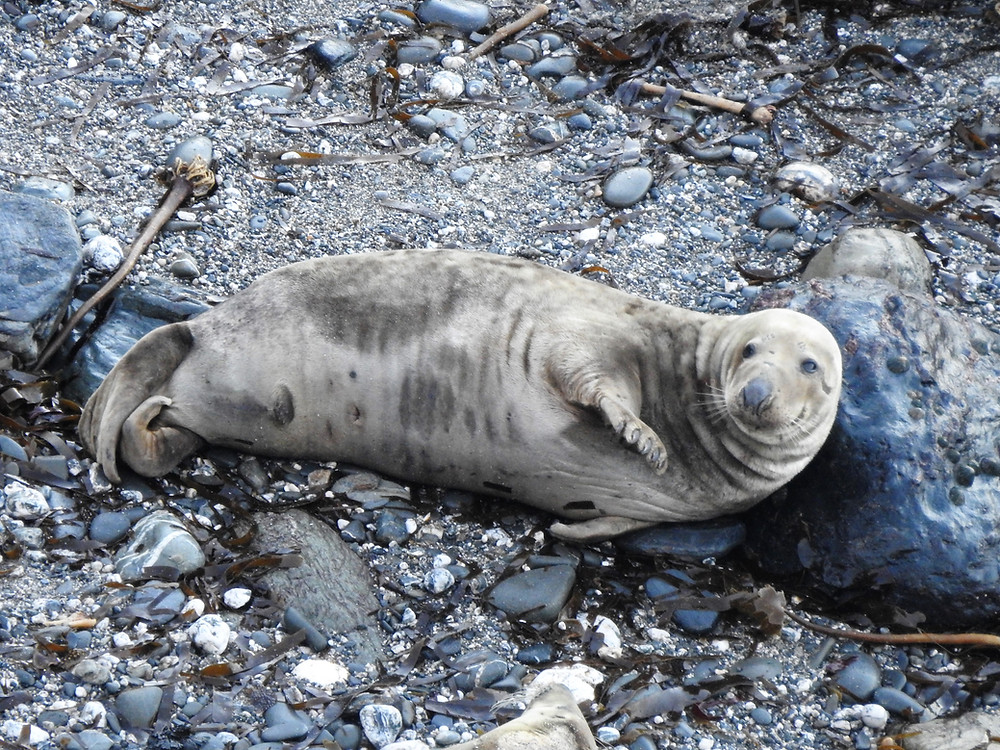 Adult male seal chilling out