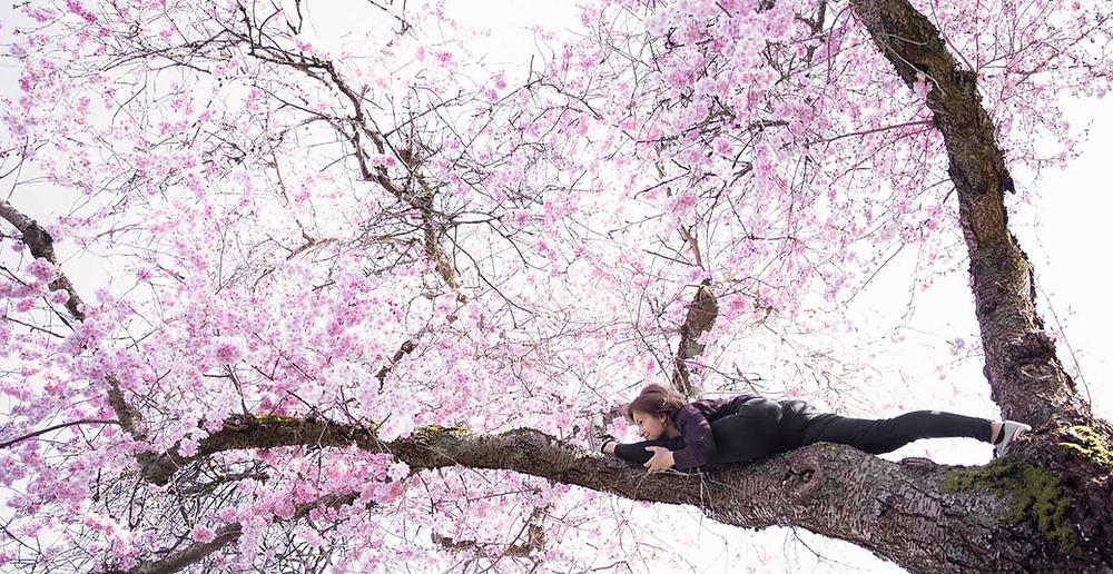 Akebono Cherry Blossom Photography