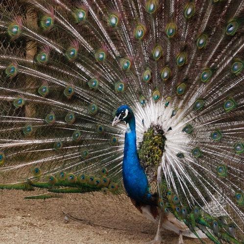 PEAFOWL INDIA BLUE PIED