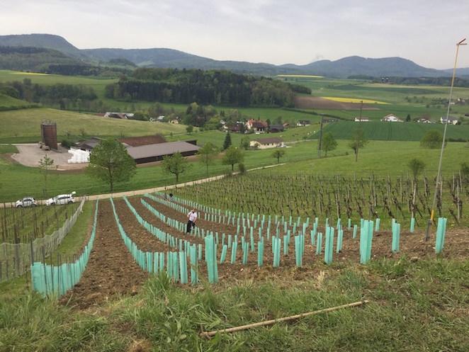 Neubepflanzung Sauvignac 2017