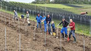 277 Sauvignac Reben gepflanzt