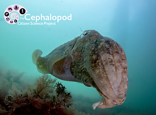 a cuttlefish with blue seawater in the background and seaweed in the bottom left. In the top right is the Cephalopod citizen science project logo