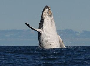 A humpback whale breaching from dark blue deep seawater