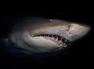 A sandtiger shark showing it's teeth