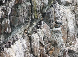 Cliff faces with 15 gullimot seabirds sitting on the ridge