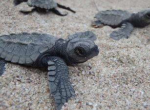 3 sea turtles on brown sand