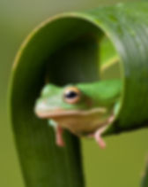 leaf tree frog.jpg