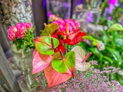 plante christi'flor