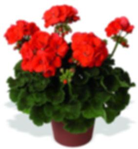 pelargoniumzonale.şilesüsbitkileri