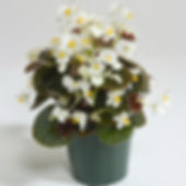 begoniasemperflorens.şilesüsbitkileri