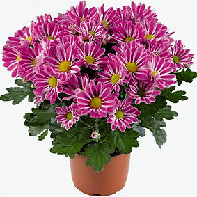 chrysanthemum.şilesüsbitkileri