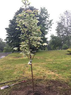 St. Ignatius tree planting St. Ignatius