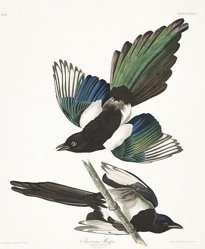 American-Magpie- John James Audubon