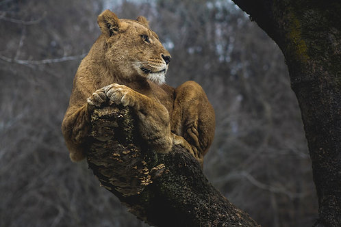 Peaceful Lion