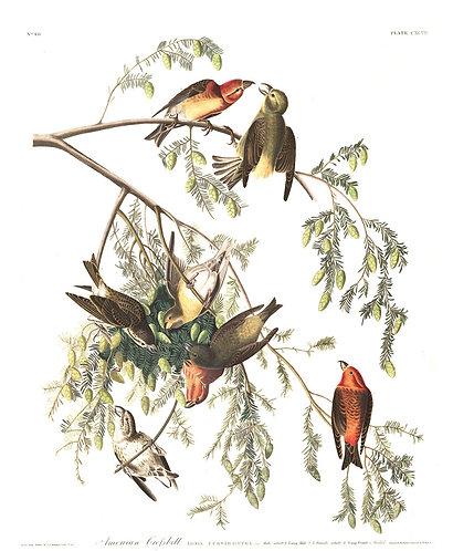 American Crossbill - John James Audubon