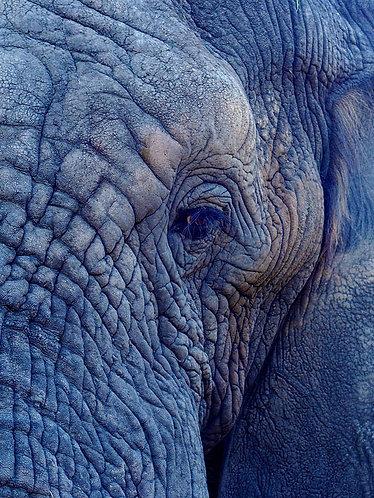 Elephants eye
