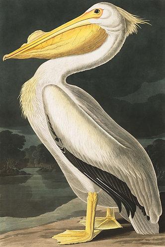 American-White-Pelican - John James Audubon