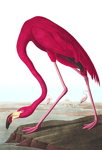 American Flamingo - John James Audubon