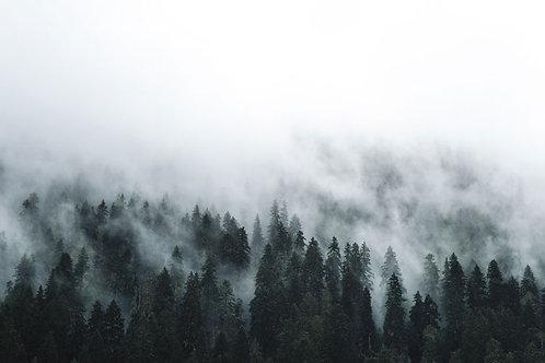 Misty Pine Trees