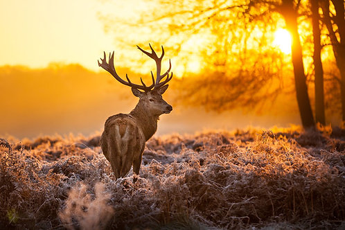 Deer in the morningsun