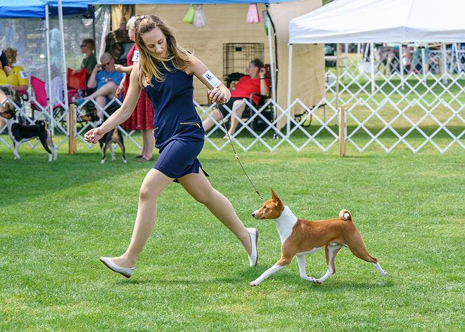 Basenji Show Dog