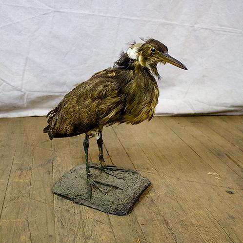 Taxidermy Standing Bird