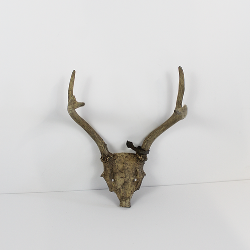 4 Point Antlers on Small Skull
