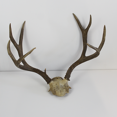 8 Point Antlers on Skull