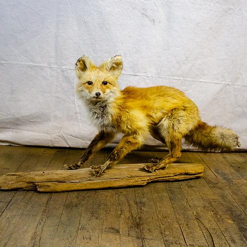 Taxidermy Beautiful Fox on a Log